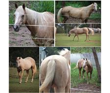 PHAA Registered Palomino Mare