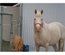 Cremello Arabian/Welsh Mare