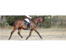 Super quiet educated gelding