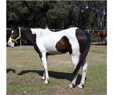 Paint Mare Allrounder