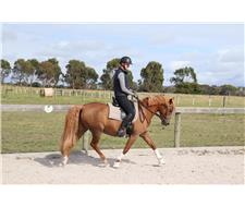 German Riding Pony X Mare (Mia)