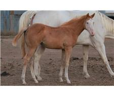 Palomino Overo Paint Filly - PHAA