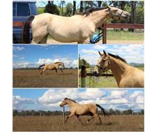 Buckskin Warmblood Broodmare