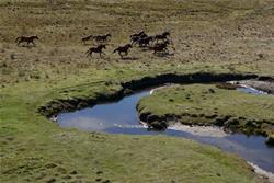Wild horses at Kosciuszko National Park. ABC News: Craig Allen